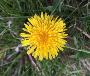 Dandelion Flower_0409