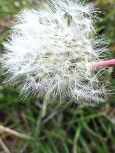 Dandelion in the wind_0440