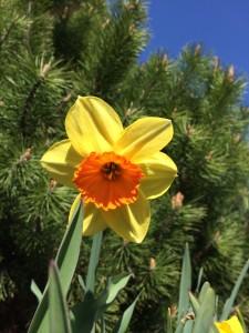spring daffodills_0253
